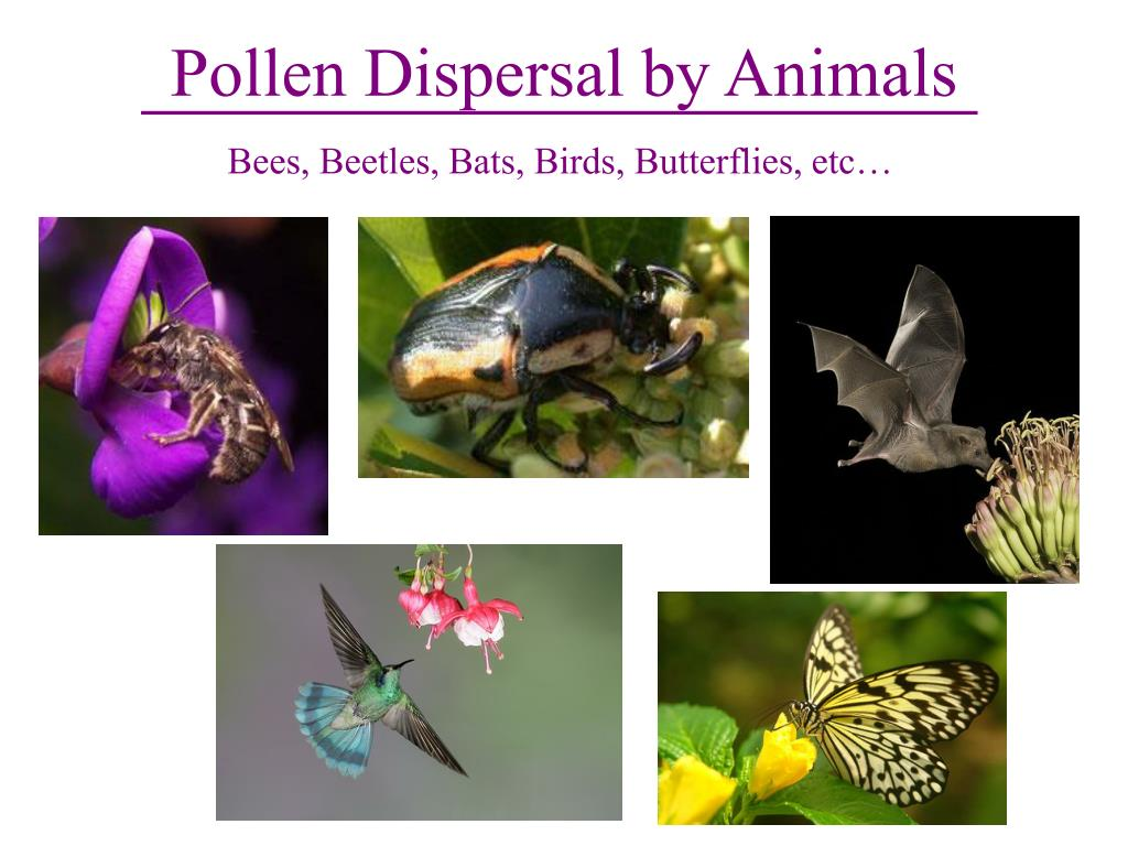 Pollen Dispersal by Animals