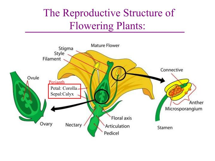 The reproductive structure of flowering plants