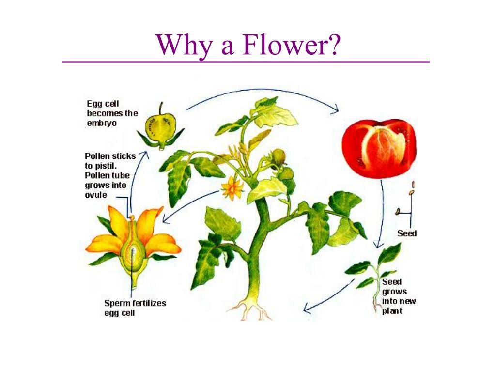 Why a Flower?