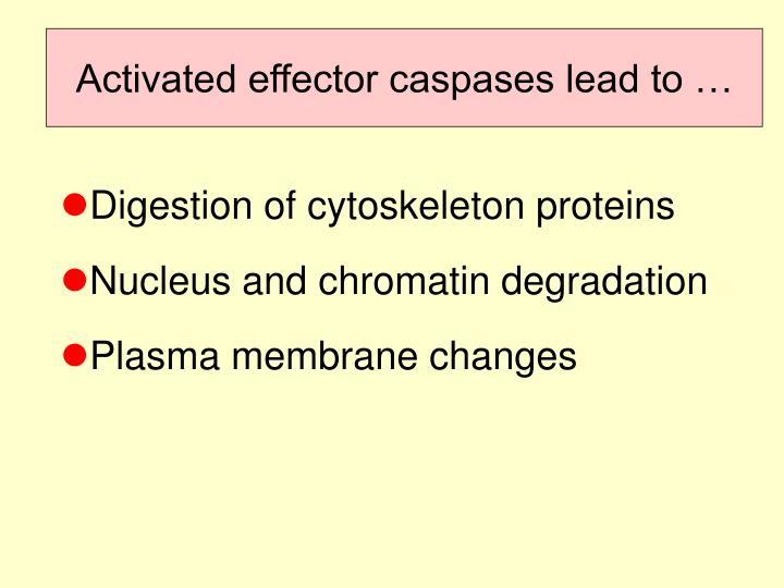 Activated effector caspases lead to …