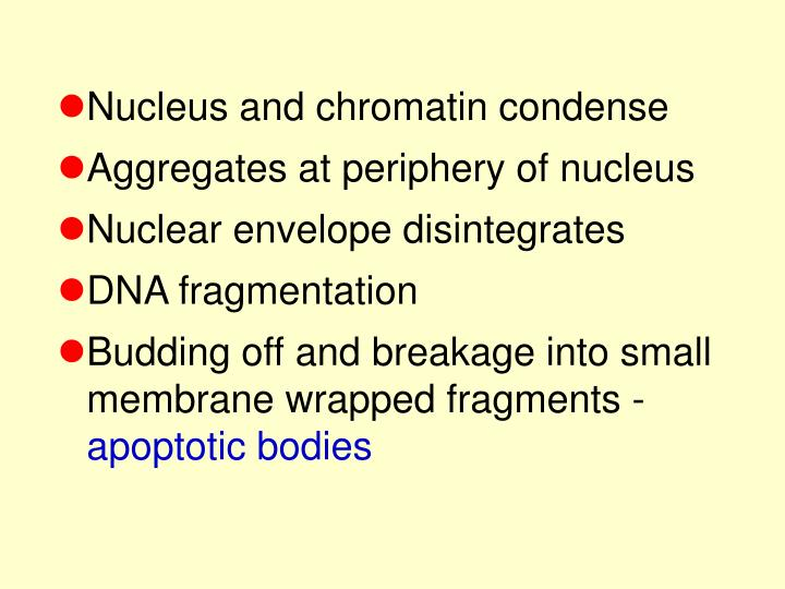 Nucleus and chromatin condense
