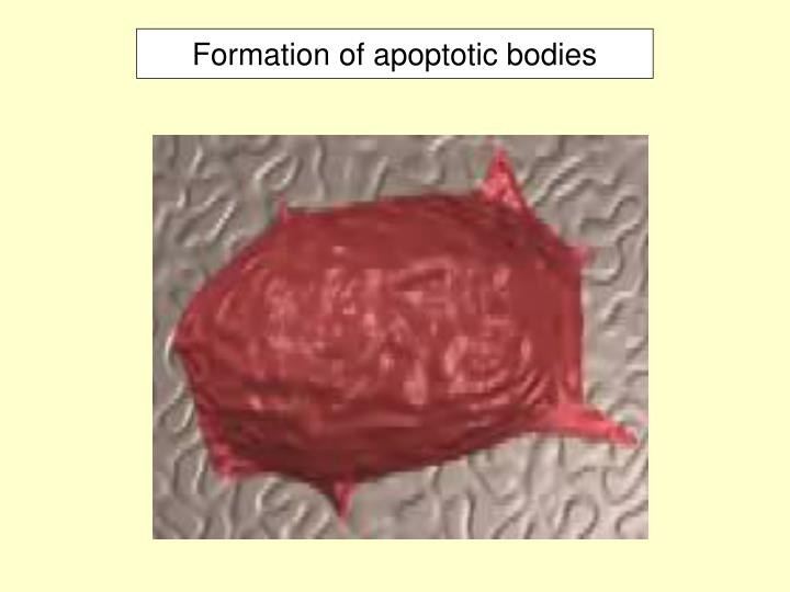 Formation of apoptotic bodies