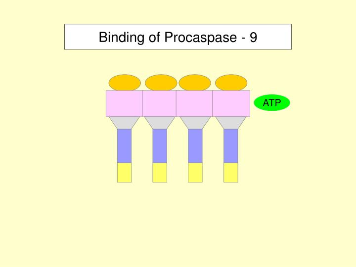 Binding of Procaspase - 9
