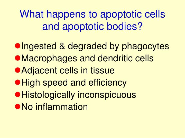 What happens to apoptotic cells and apoptotic bodies?