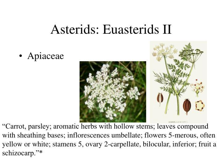 Asterids: Euasterids II