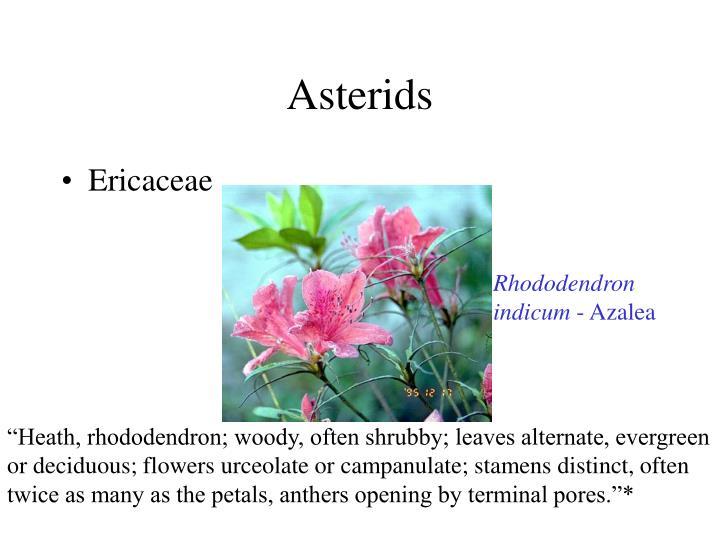 Asterids