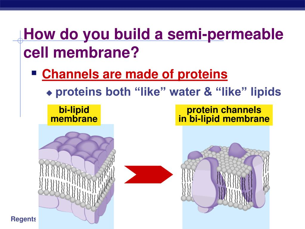 Build A Membrane : Ppt cell membranes movement across them powerpoint