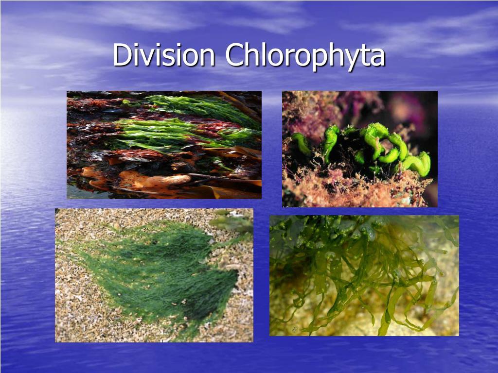 Division Chlorophyta