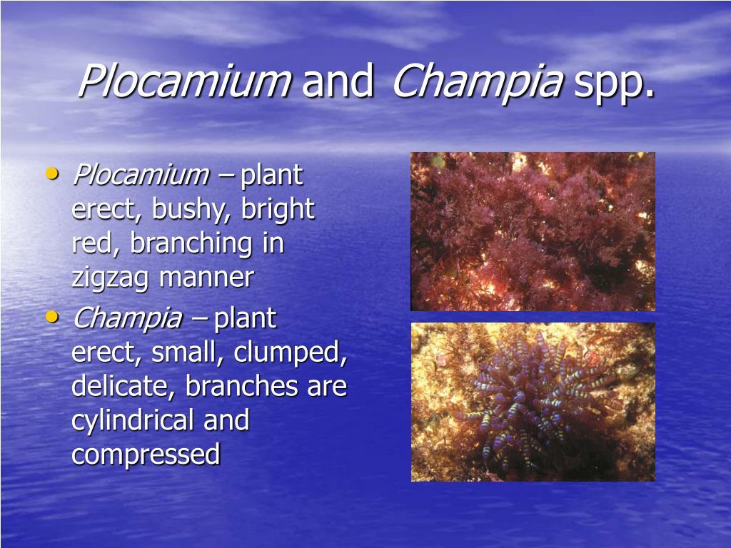 Plocamium