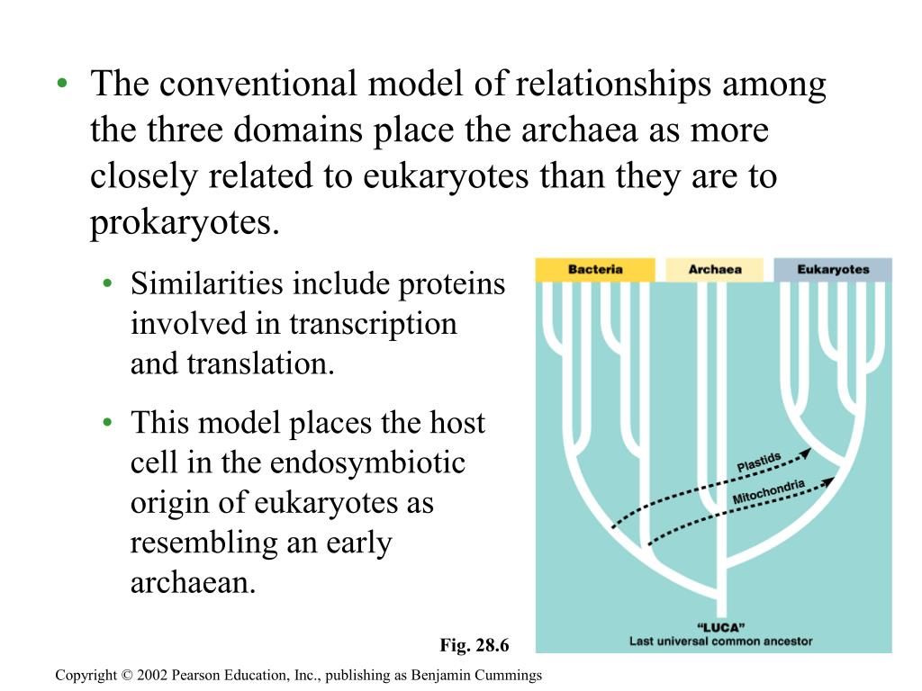 The conventional model of relationships among the three domains place the archaea as more closely related to eukaryotes than they are to prokaryotes.