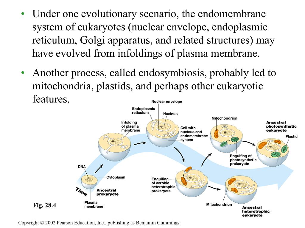 Under one evolutionary scenario, the endomembrane system of eukaryotes (nuclear envelope, endoplasmic reticulum, Golgi apparatus, and related structures) may have evolved from infoldings of plasma membrane.
