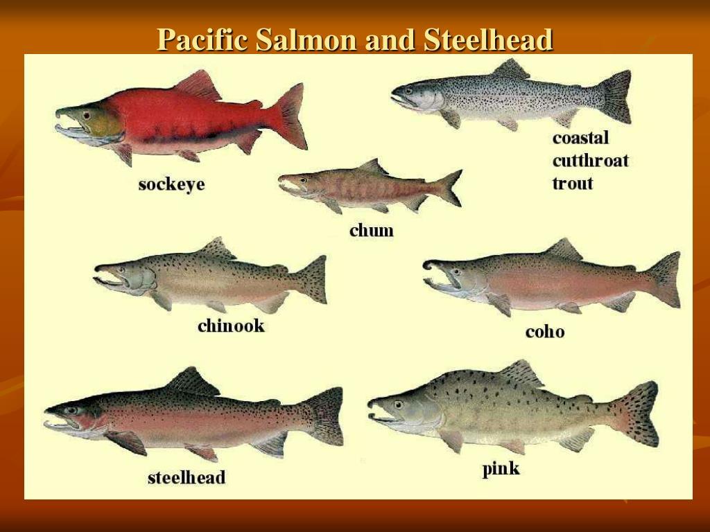 Pacific Salmon and Steelhead