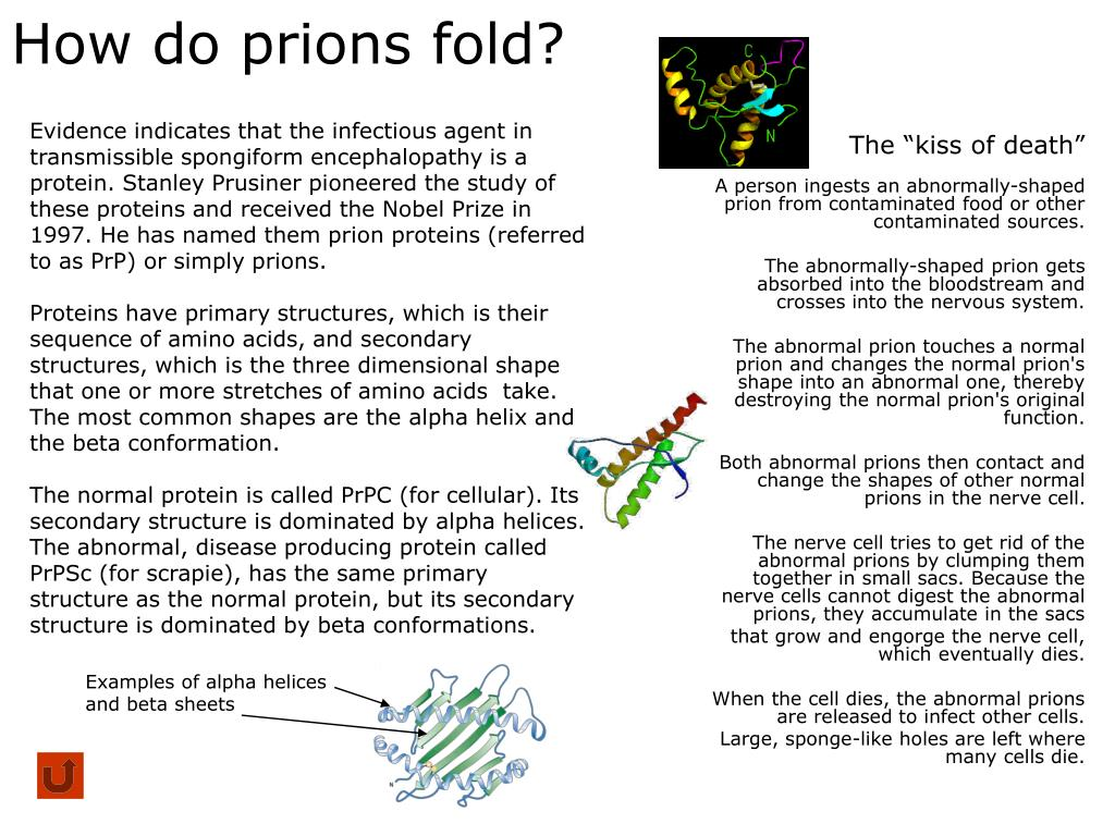 How do prions fold?