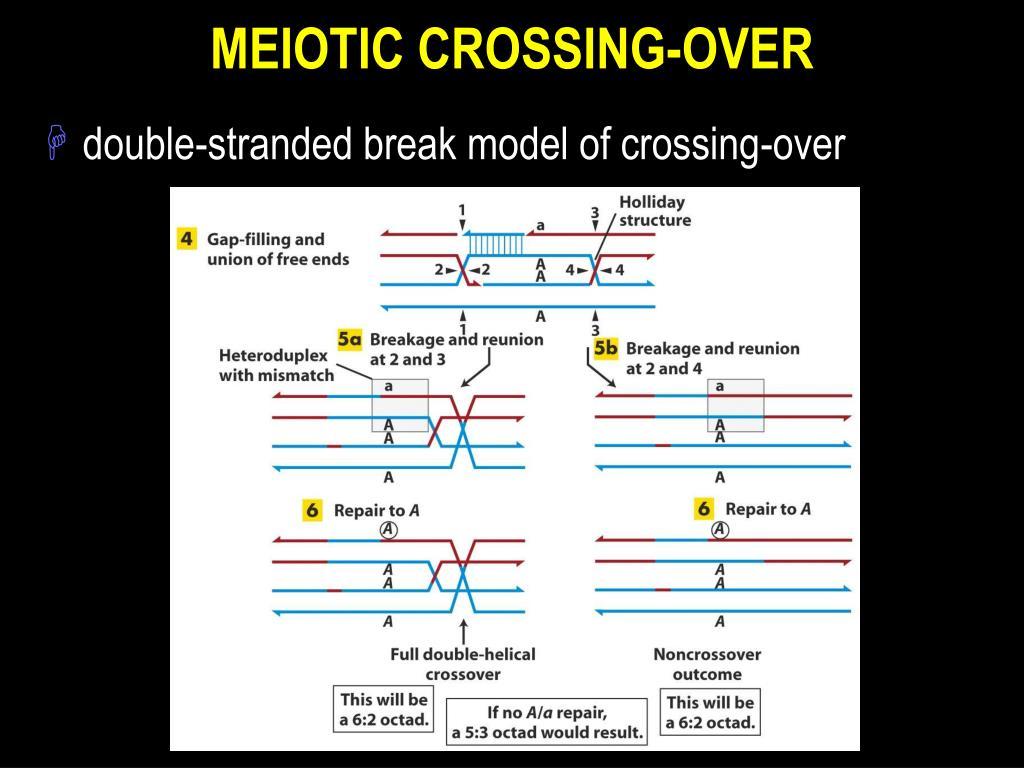 MEIOTIC CROSSING-OVER