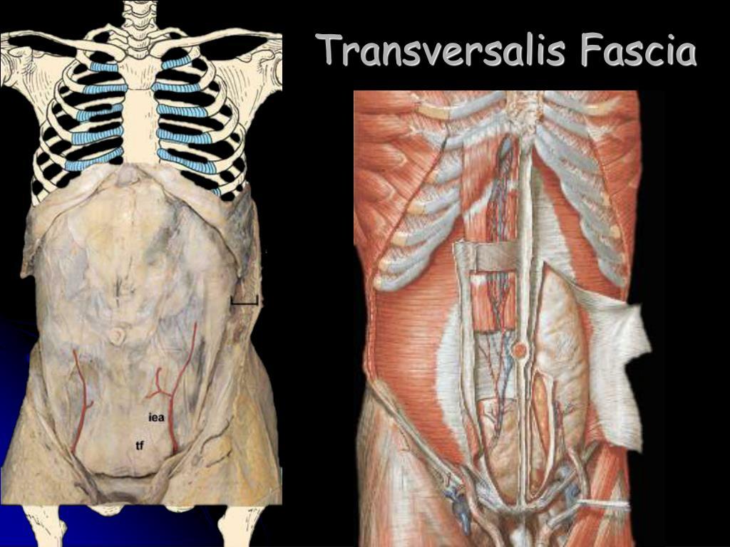 Transversalis Fascia PPT - ABDOMEN PowerPoi...