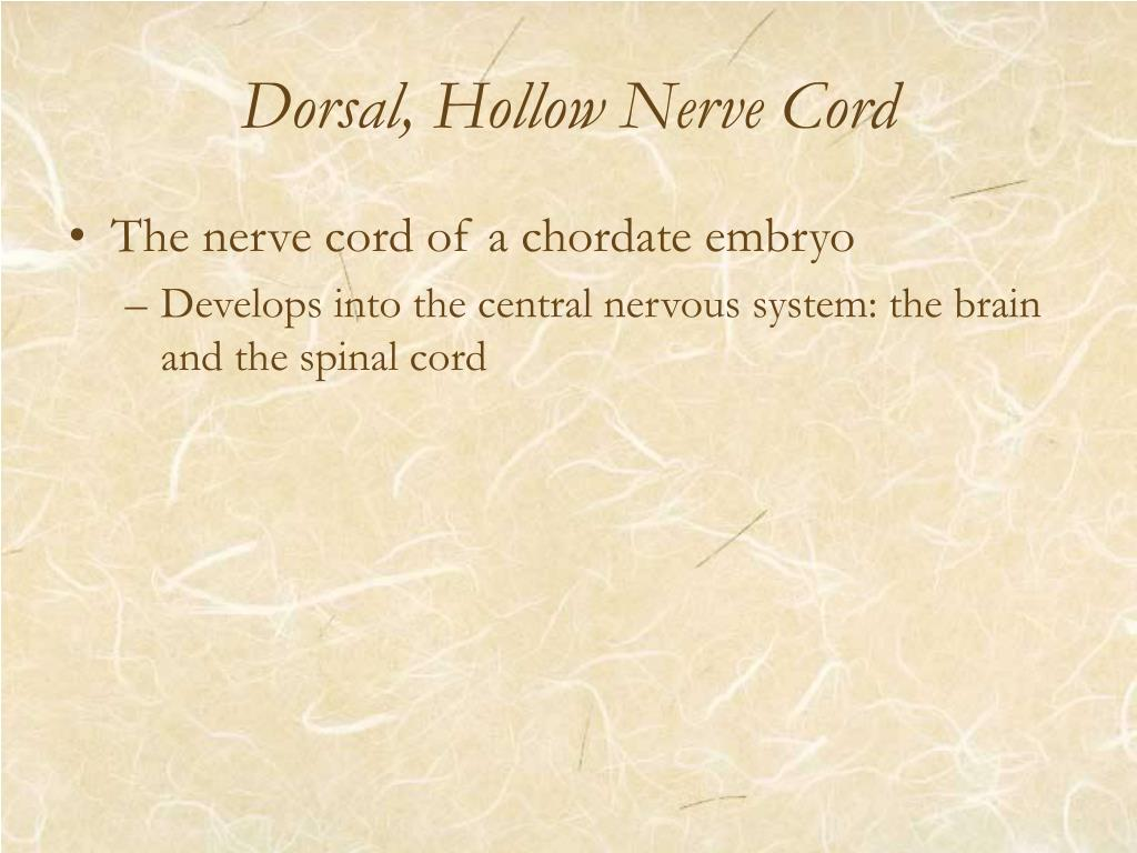 Dorsal, Hollow Nerve Cord