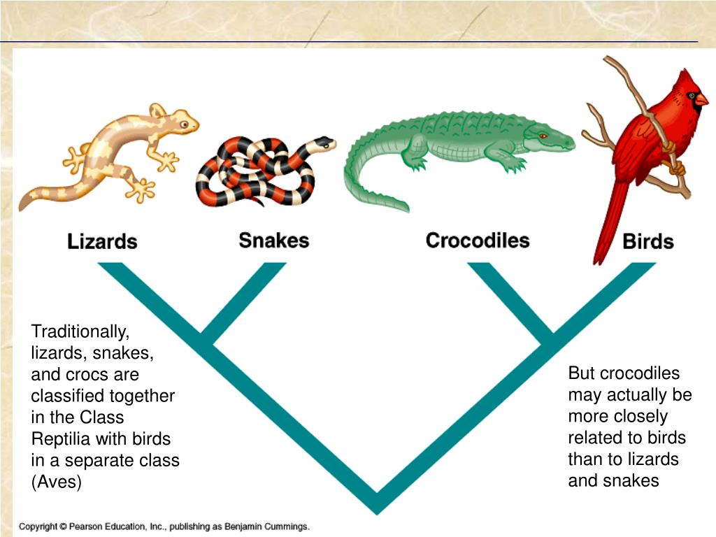 Traditionally, lizards, snakes, and crocs are classified together in the Class Reptilia with birds in a separate class (Aves)