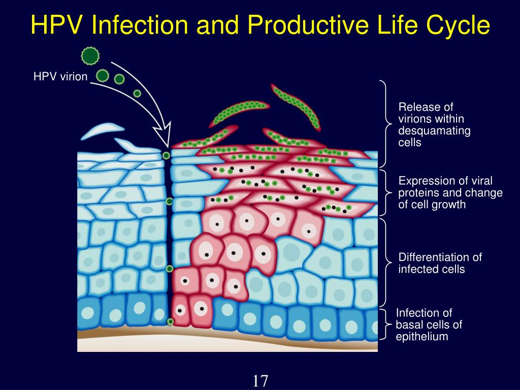 HPV Infection and Productive Life Cycle