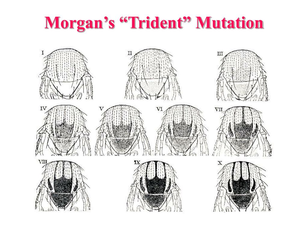 "Morgan's ""Trident"" Mutation"