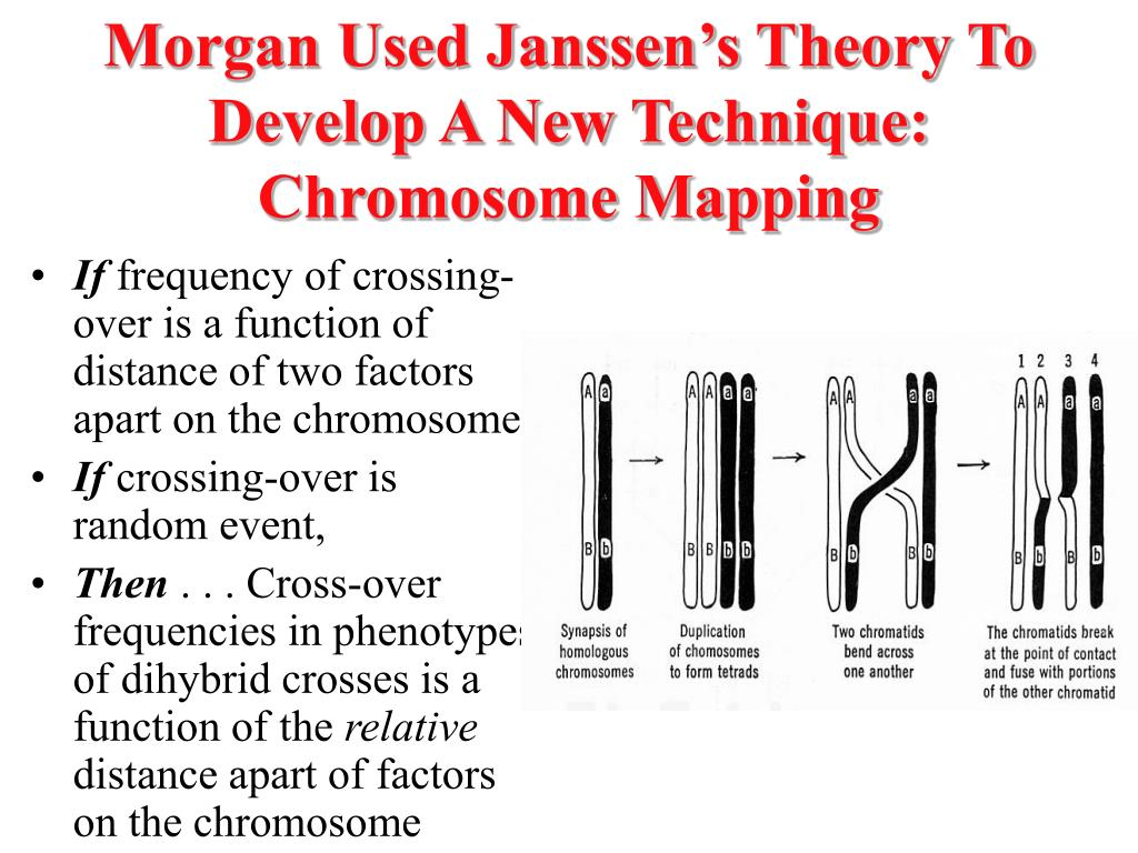 Morgan Used Janssen's Theory To Develop A New Technique: Chromosome Mapping
