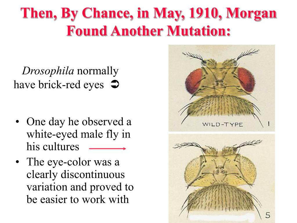 Then, By Chance, in May, 1910, Morgan Found Another Mutation: