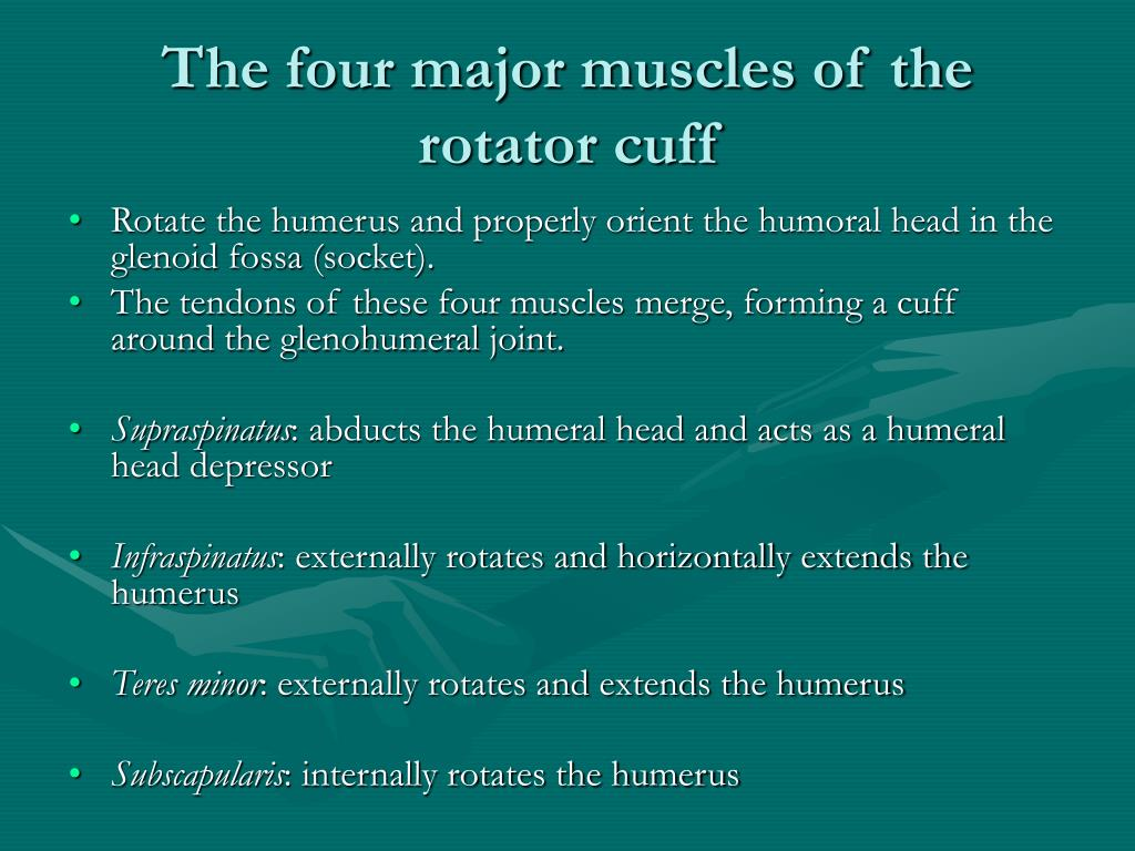 The four major muscles of the rotator cuff