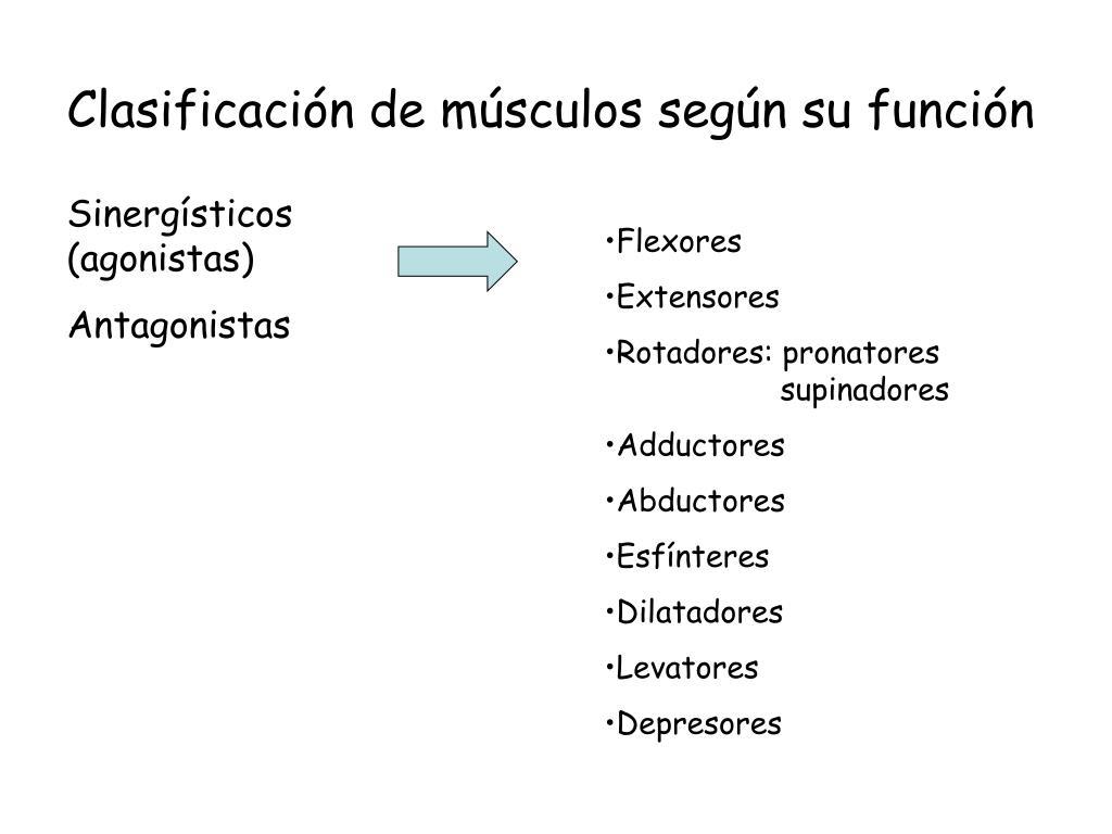 Clasificación de músculos según su función