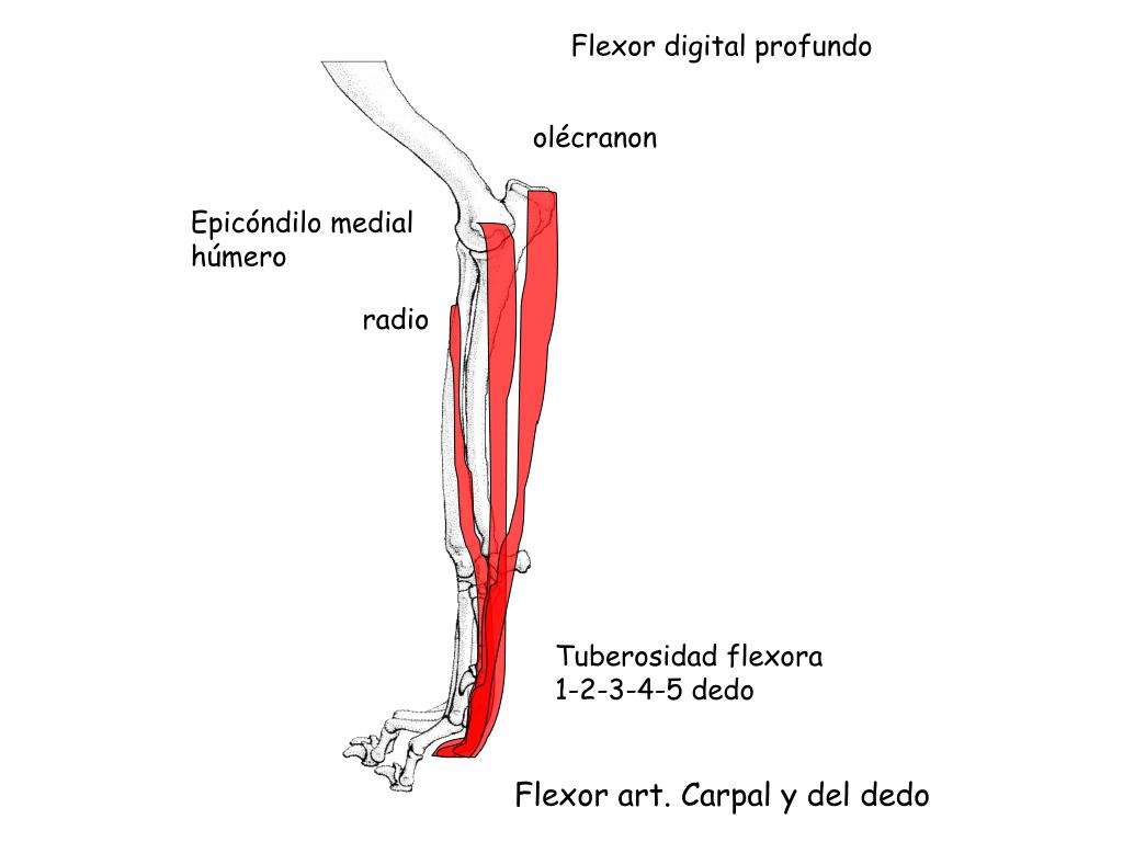 Flexor digital profundo