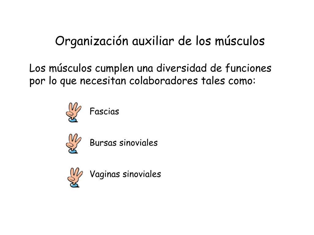 Organización auxiliar de los músculos