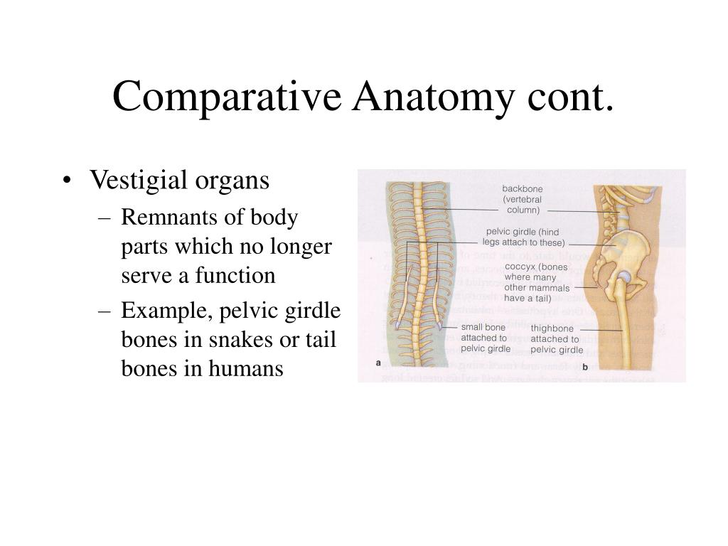 Comparative Anatomy cont.