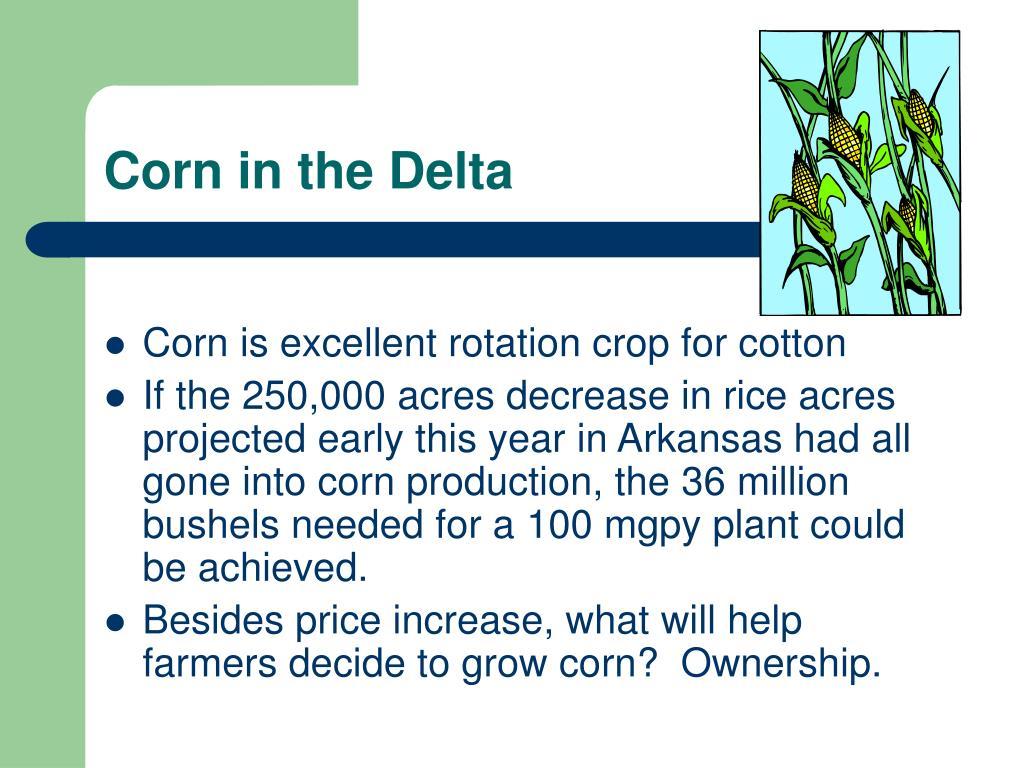 Corn in the Delta