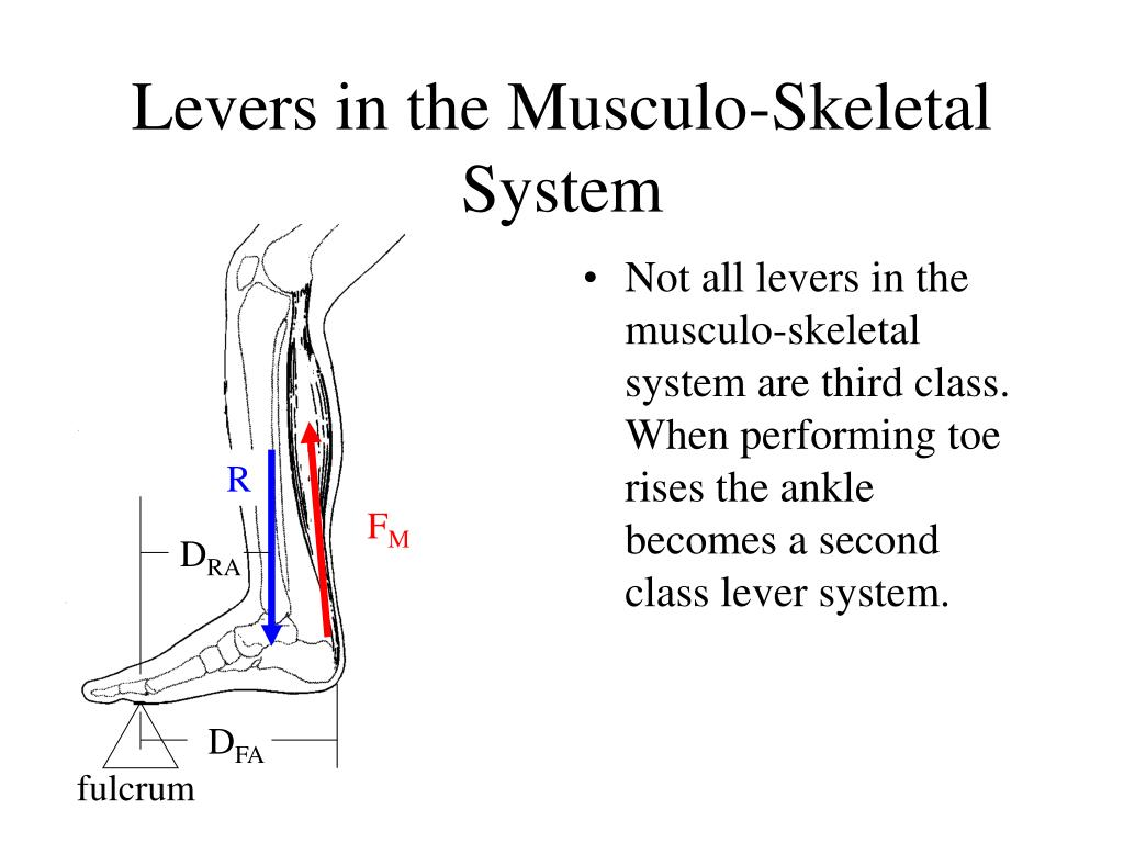Levers in the Musculo-Skeletal System