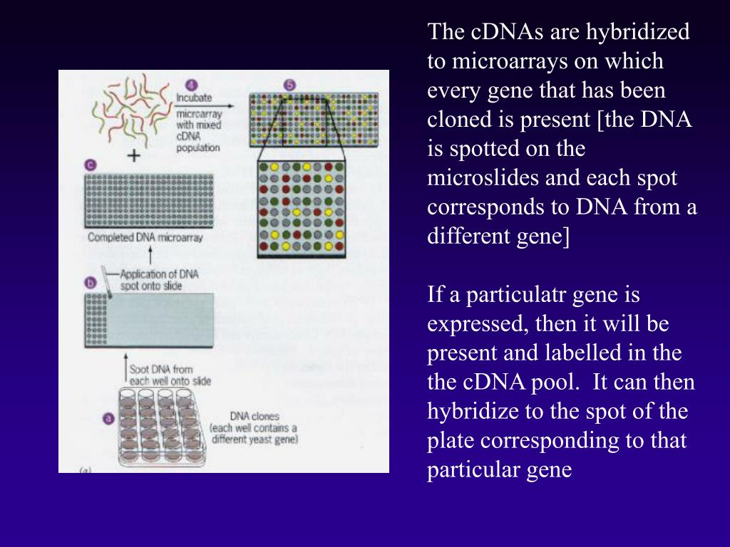 The cDNAs are hybridized to microarrays on which every gene that has been cloned is present [the DNA is spotted on the microslides and each spot corresponds to DNA from a different gene]