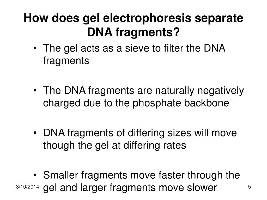 How does gel electrophoresis separate DNA fragments?