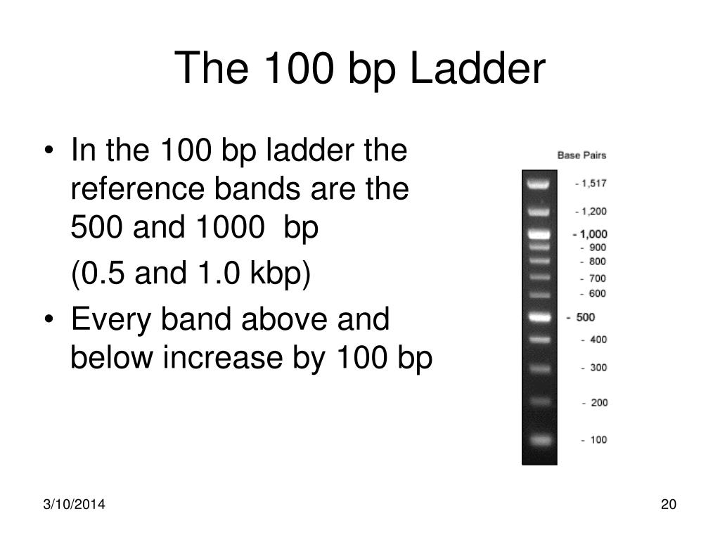 The 100 bp Ladder