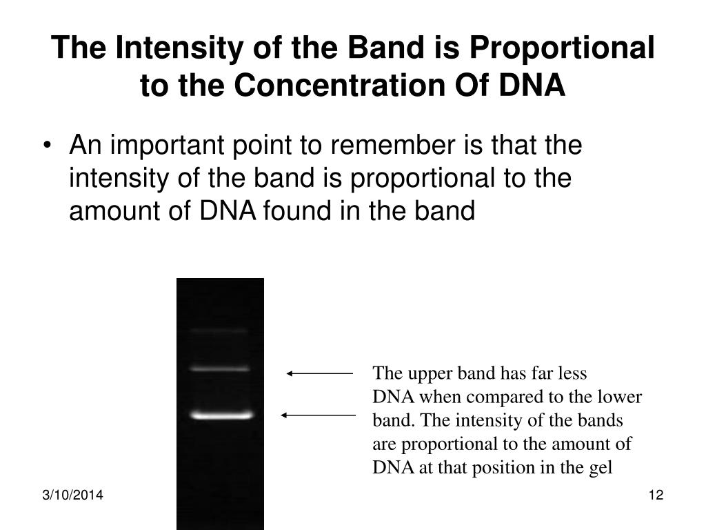 The Intensity of the Band is Proportional to the Concentration Of DNA