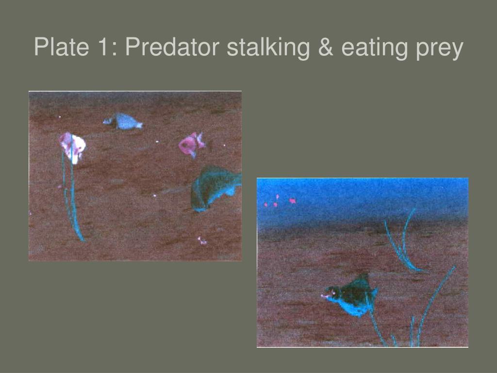 Plate 1: Predator stalking & eating prey