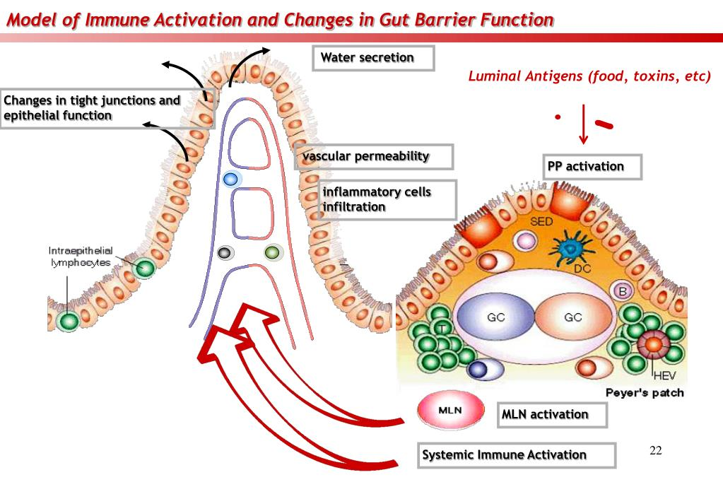 Model of Immune Activation and Changes in Gut Barrier Function