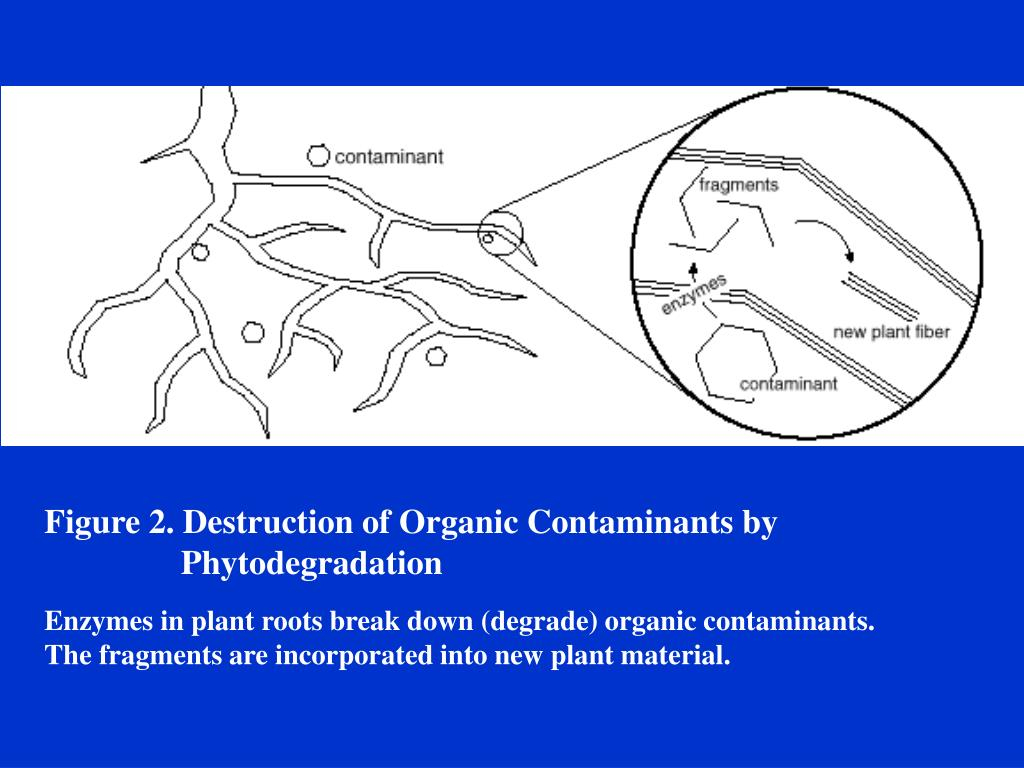 Figure 2. Destruction of Organic Contaminants by 	  		    Phytodegradation