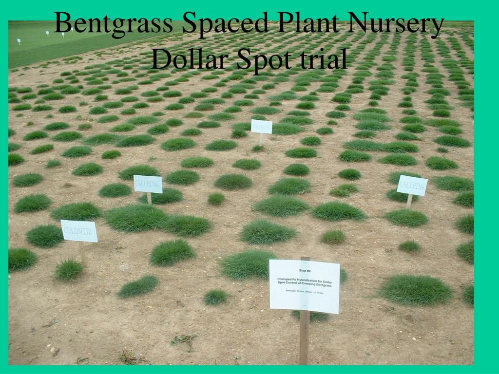 Bentgrass Spaced Plant Nursery