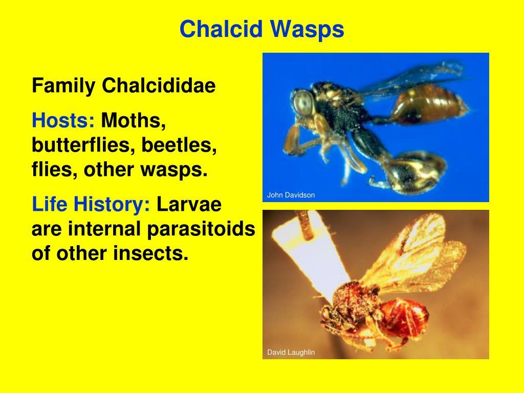 Chalcid Wasps