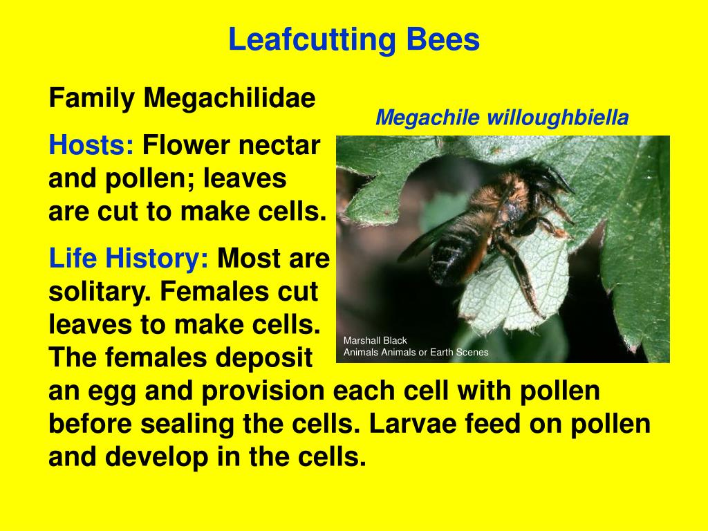 Leafcutting Bees