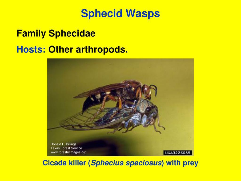 Sphecid Wasps