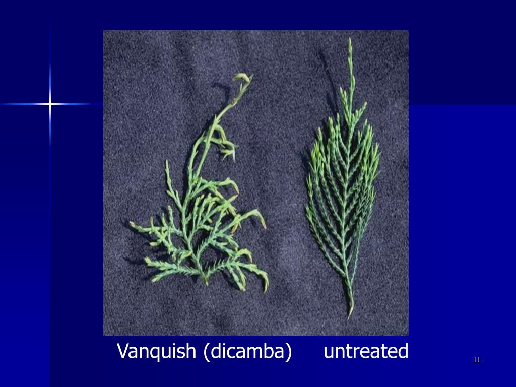 Vanquish (dicamba)