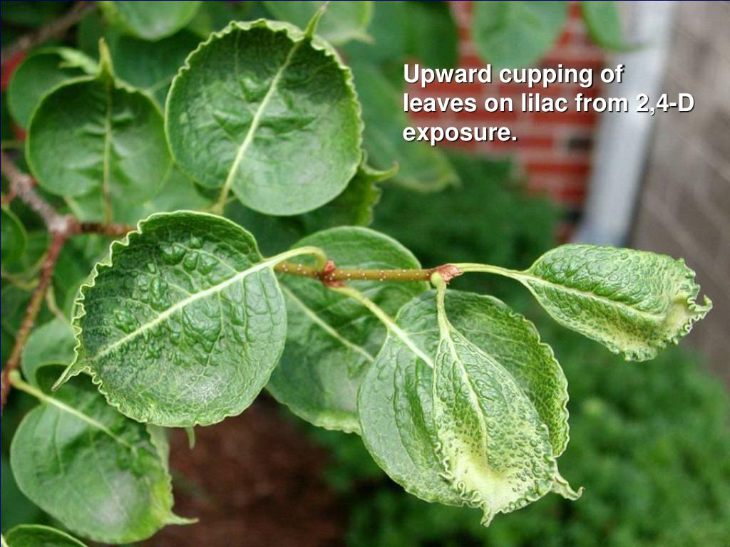 Upward cupping of leaves on lilac from 2,4-D exposure.