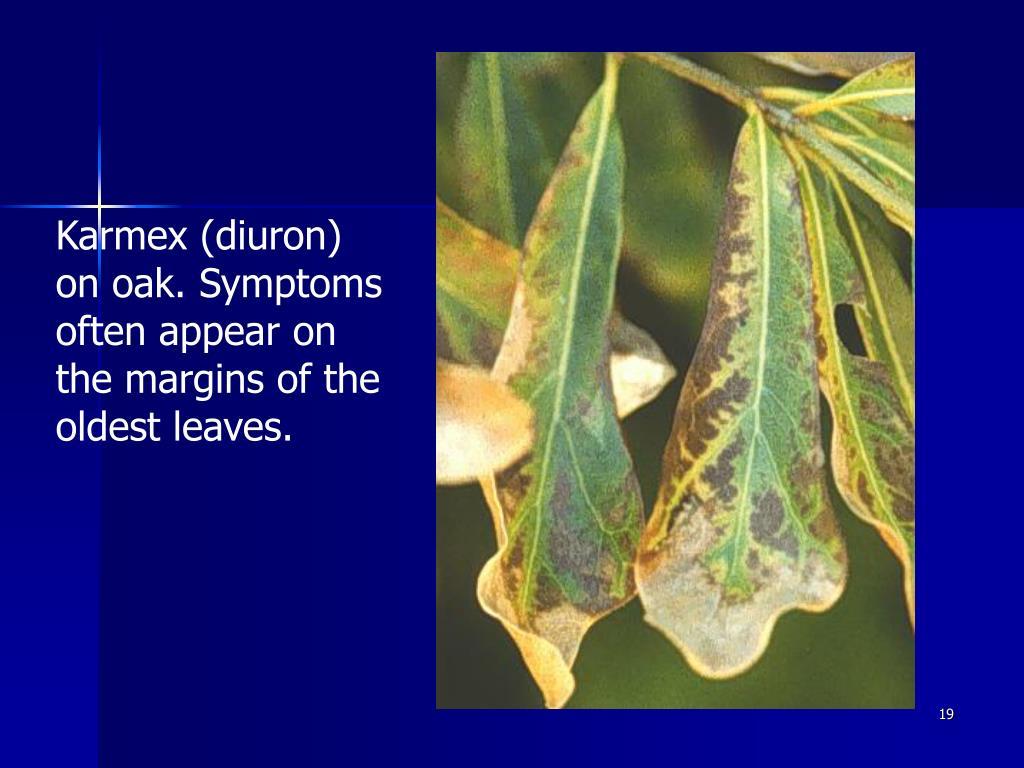 Karmex (diuron) on oak. Symptoms often appear on the margins of the oldest leaves.