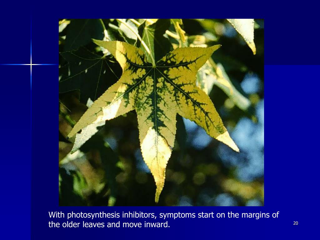 With photosynthesis inhibitors, symptoms start on the margins of the older leaves and move inward.