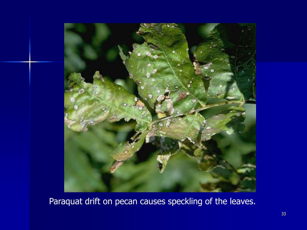 Paraquat drift on pecan causes speckling of the leaves.