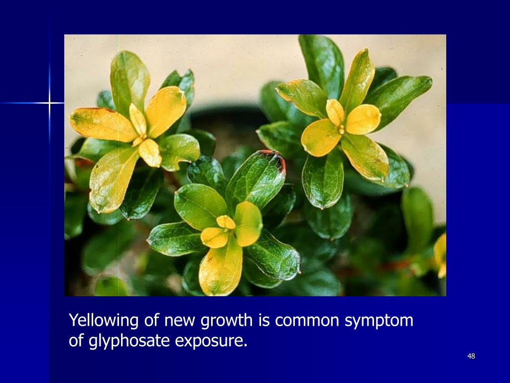 Yellowing of new growth is common symptom of glyphosate exposure.