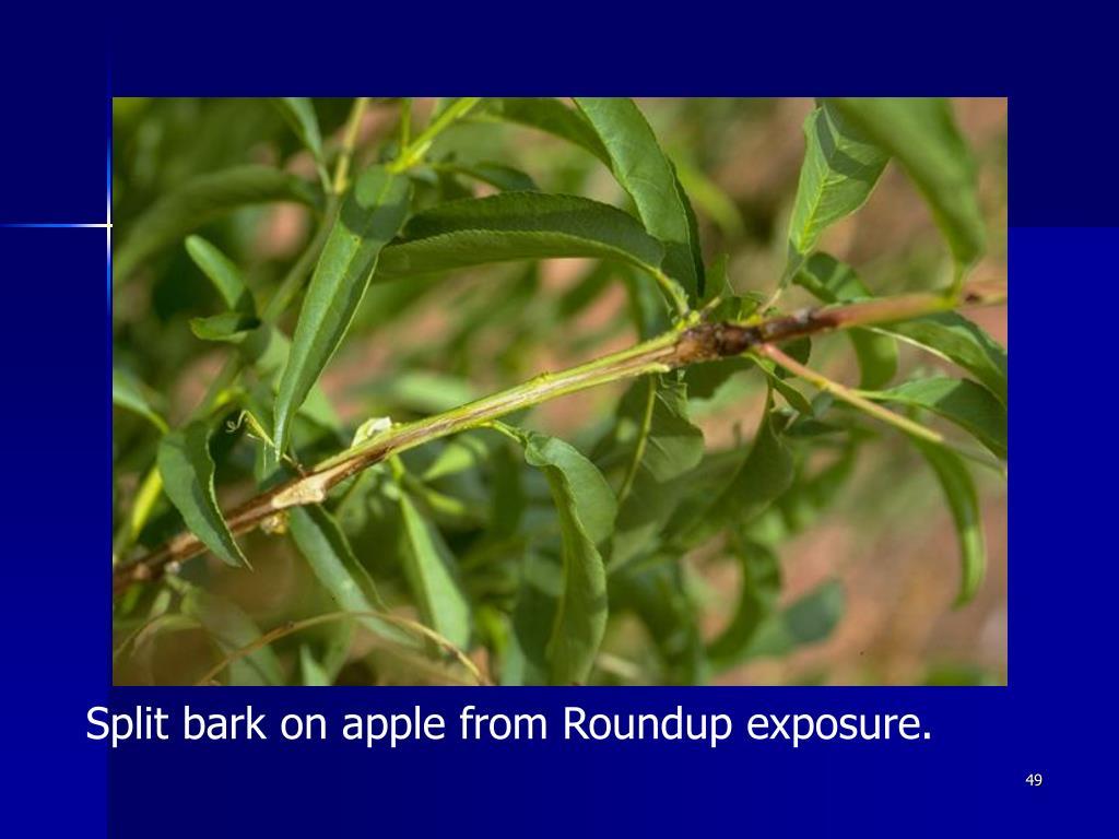 Split bark on apple from Roundup exposure.